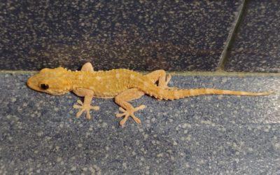 Gecko amigo
